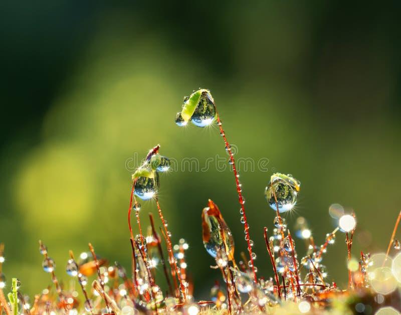 Musgo do close up com feixes de Sun na floresta foto de stock royalty free
