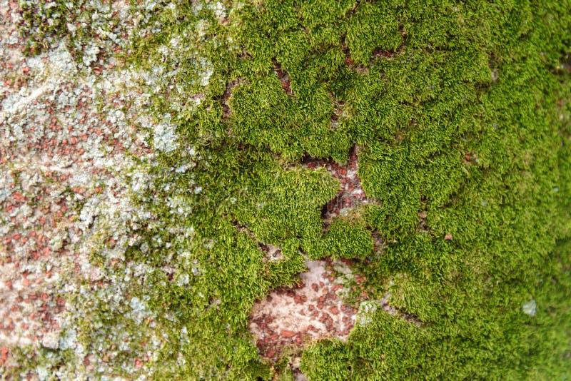 Musgo do close-up que cresce no tronco de ?rvore na casca de ?rvore da floresta tropical com musgoso verde fotografia de stock