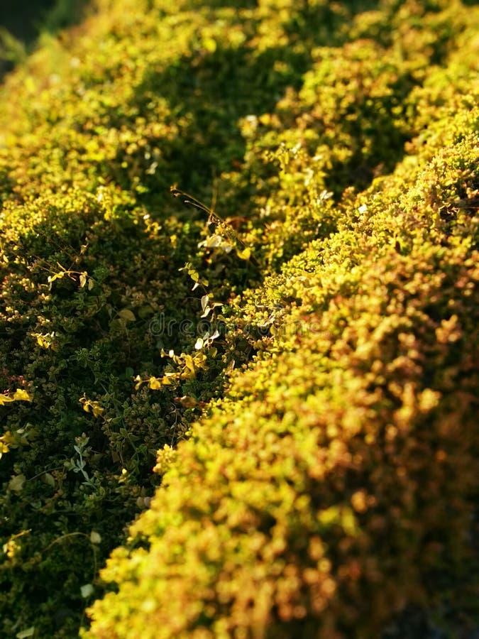 Musgo dourado em um campo imagens de stock royalty free