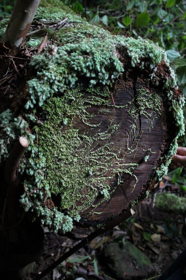 Musgo em um coto de árvore foto de stock