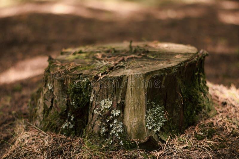 Musgo em um coto de ?rvore na floresta foto de stock