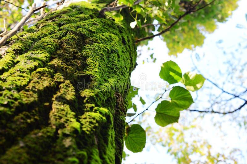 Musgo en árbol imagenes de archivo