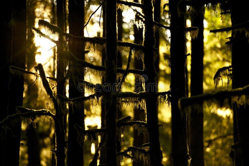 Musgo en árboles fotos de archivo libres de regalías
