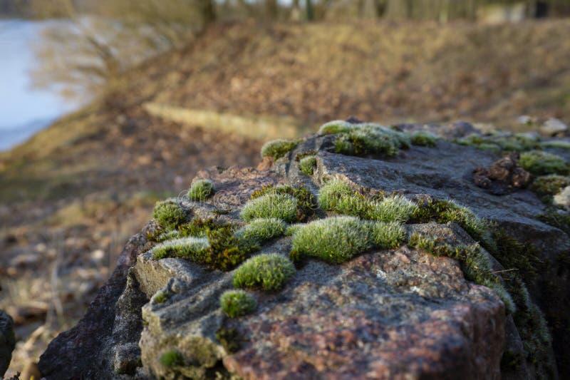 Musgo en piedras en primer foto de archivo