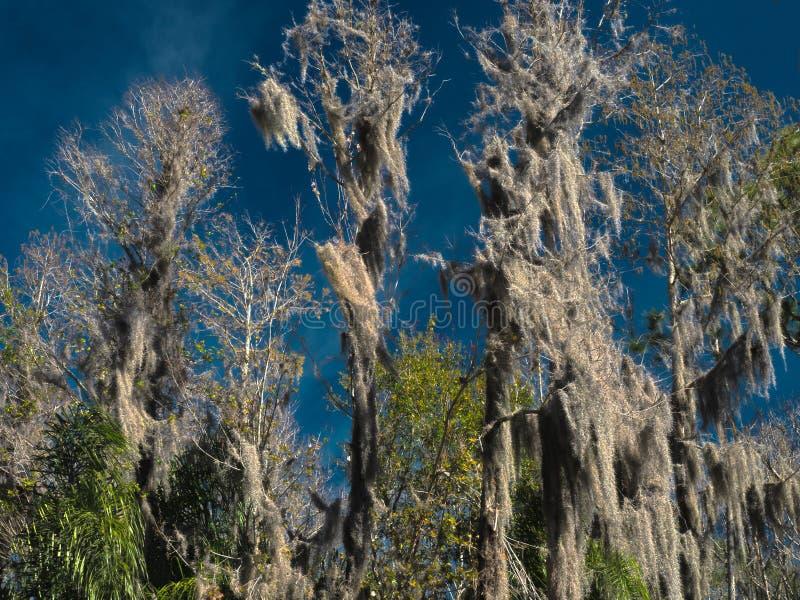 Musgo espanhol de HDR em árvores de Cypress contra um céu azul vívido imagem de stock royalty free
