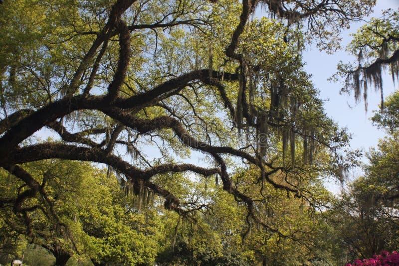 Musgo espanhol em árvores de carvalho imagem de stock