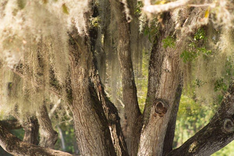 Musgo espanhol na árvore velha imagem de stock royalty free