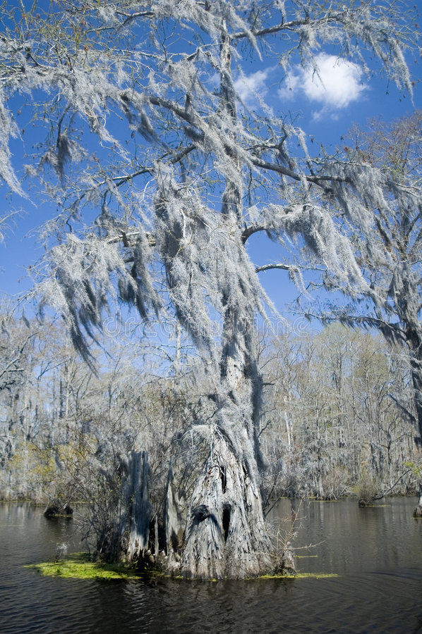 Musgo espanhol no pântano de Cypress foto de stock royalty free