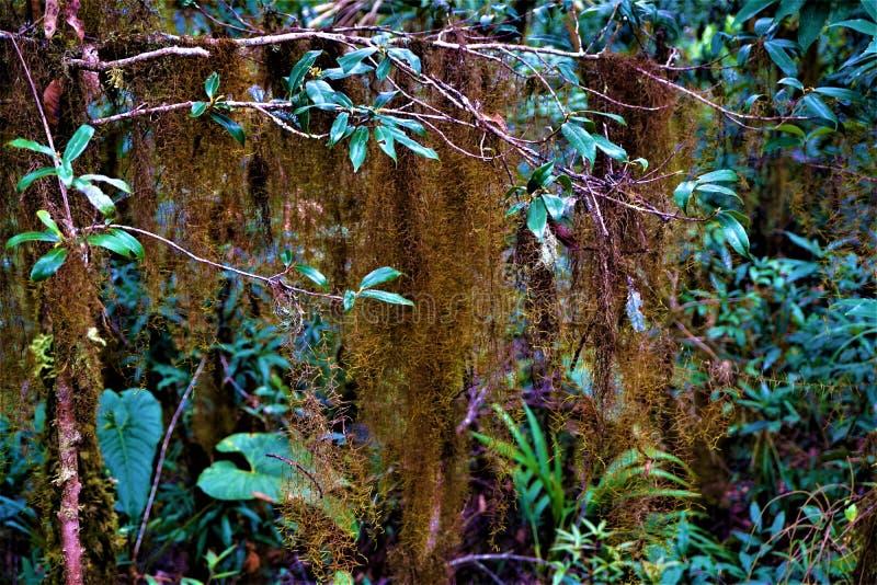 Musgo espanhol no parque nacional do Los Quetzales foto de stock royalty free