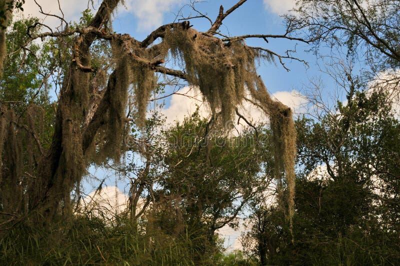 Musgo espanhol que pendura de uma árvore em Texas sul fotografia de stock