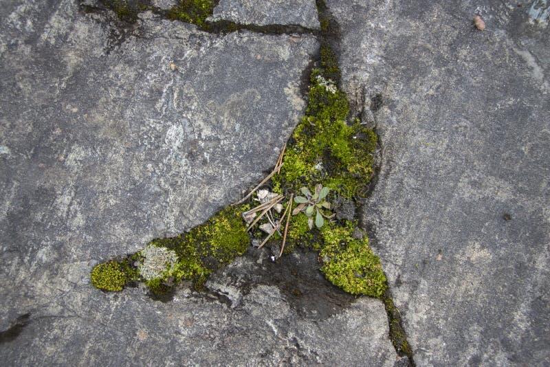 Musgo grueso que crece en una roca imagenes de archivo