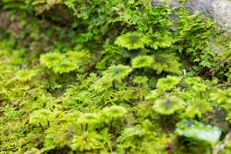 Musgo molhado da palmeira, musgo à terra no parque nacional de Kinabalu, malaio fotos de stock