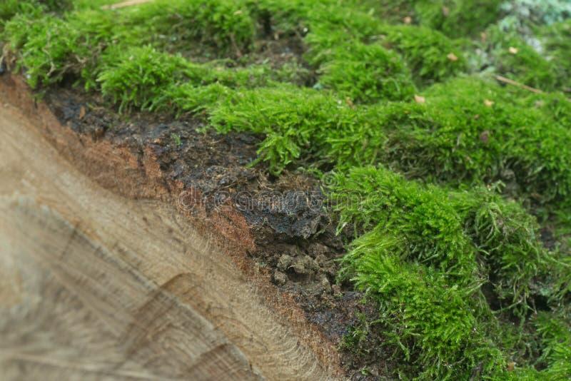 Musgo no log cortado da árvore fotografia de stock
