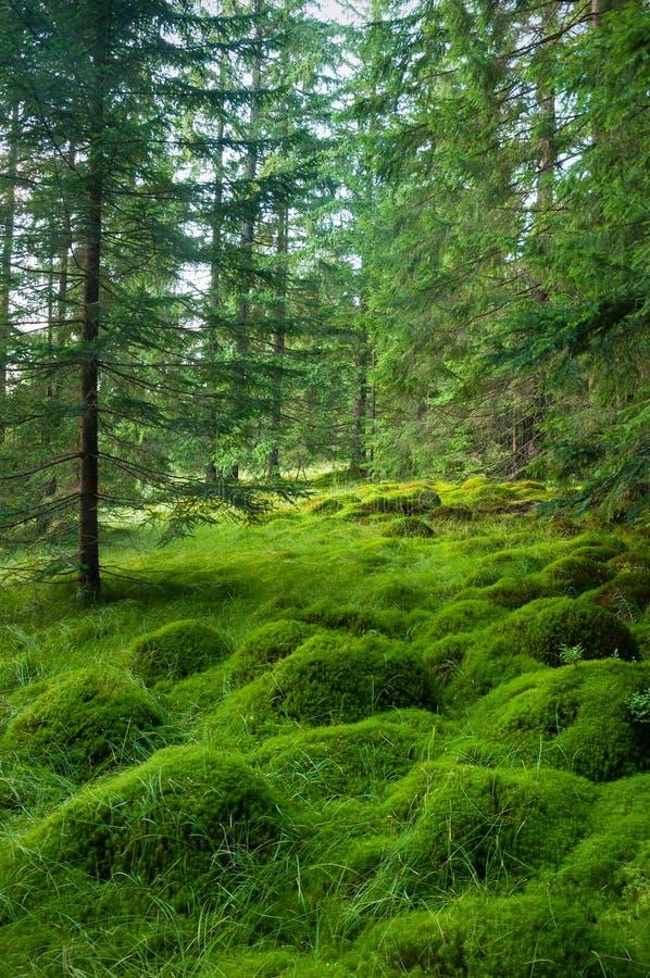 Musgo profundo de madeira no musgo do verde floresta nos Carpathians imagens de stock