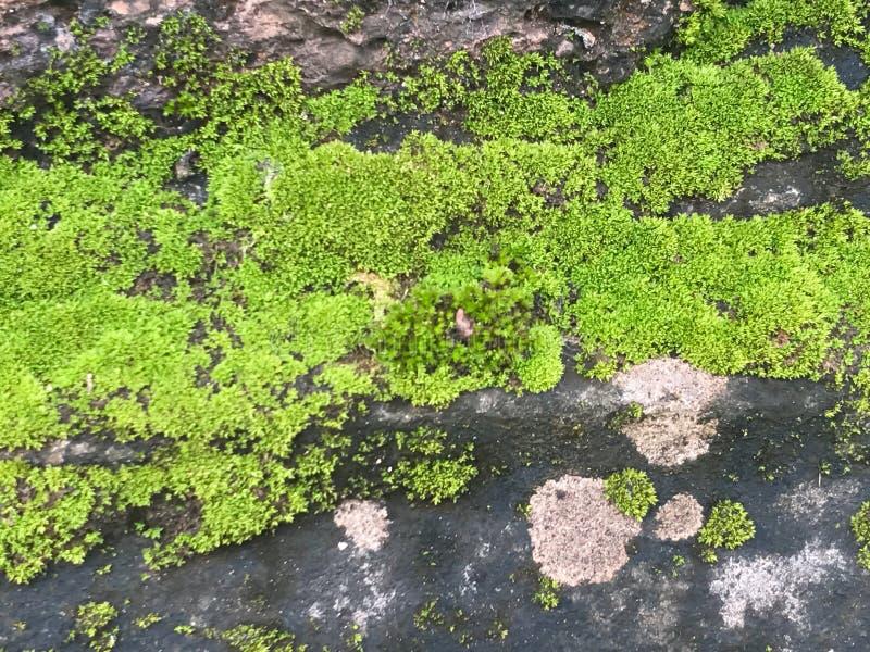 Musgo que crece en rocas foto de archivo