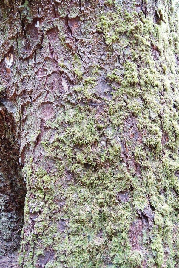 Musgo que crece en tronco de árbol fotos de archivo libres de regalías