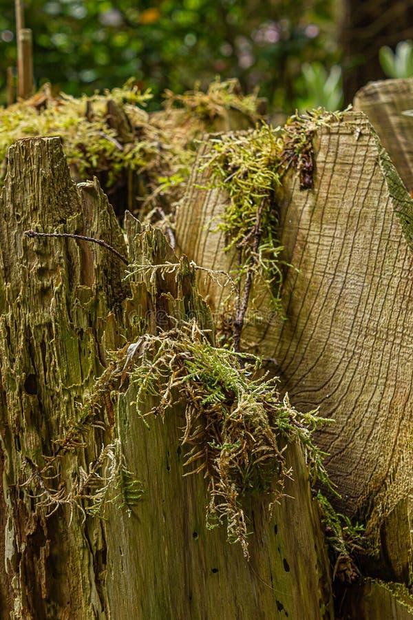 Musgo que cresce em logs cortados da ?rvore tragada na floresta fotos de stock