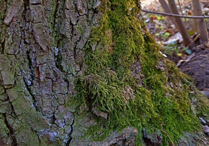 Musgo que cresce na casca de ?rvore na floresta foto de stock royalty free