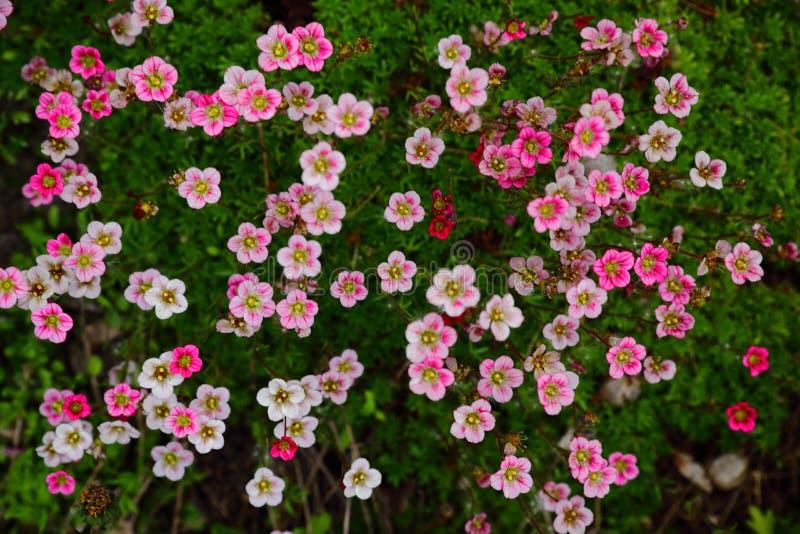 Musgo que florece con las flores rosadas en una cama de flor fotos de archivo