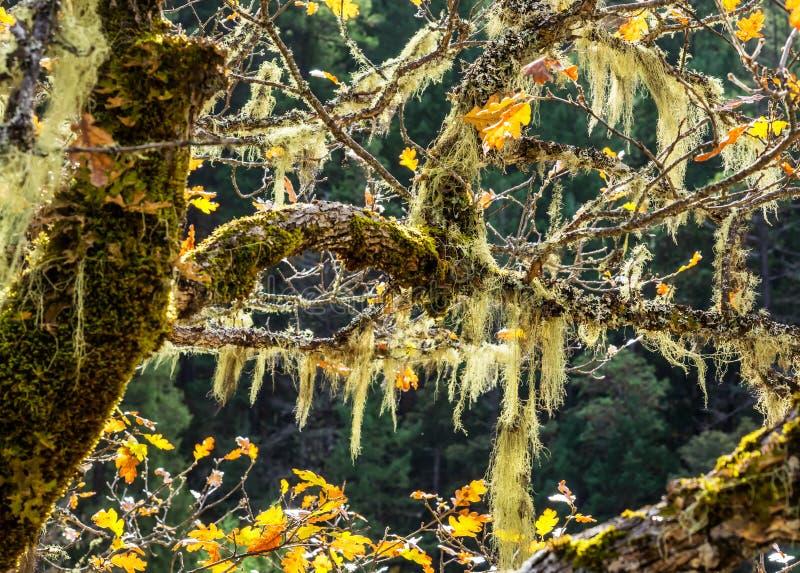 Musgo que pendura dos ramos de carvalho no outono fotos de stock