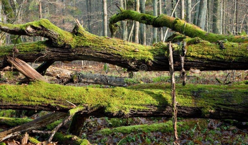 Musgo quebrado inoperante das árvores envolvido imagens de stock