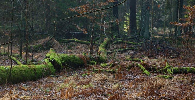 Musgo quebrado inoperante das árvores envolvido fotografia de stock royalty free