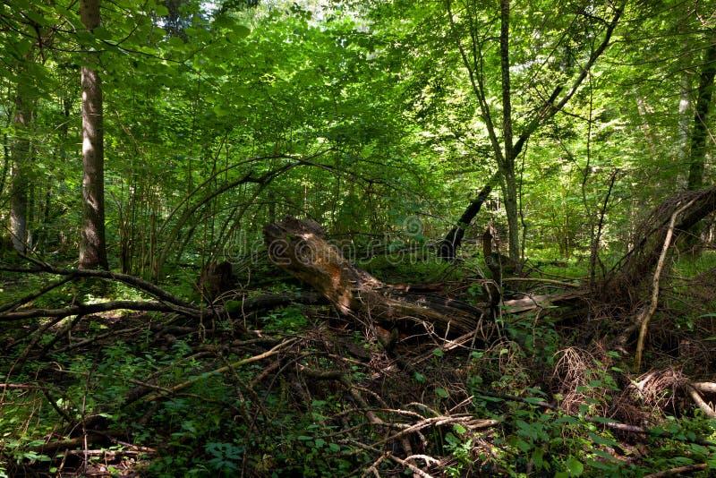 Musgo quebrado inoperante das árvores envolvido com provocação foto de stock