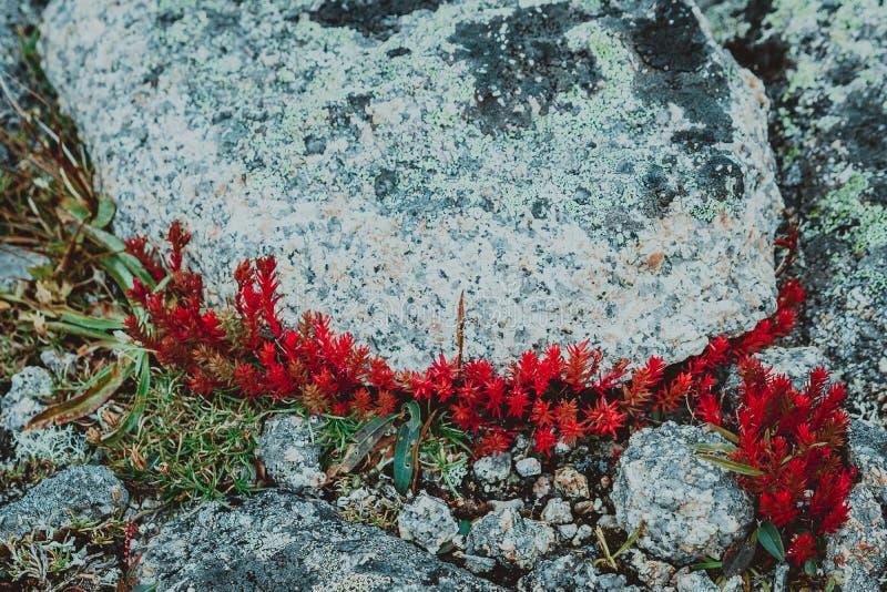 Musgo rojo, los succulents foto de archivo