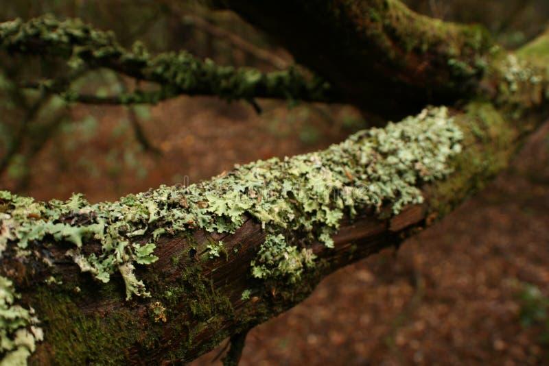 Musgo seco pegado a la rama fotografía de archivo