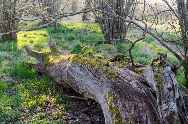 Musgo velho tronco de ?rvore coberto imagens de stock