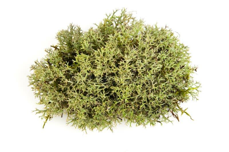 Musgo verde fotografía de archivo