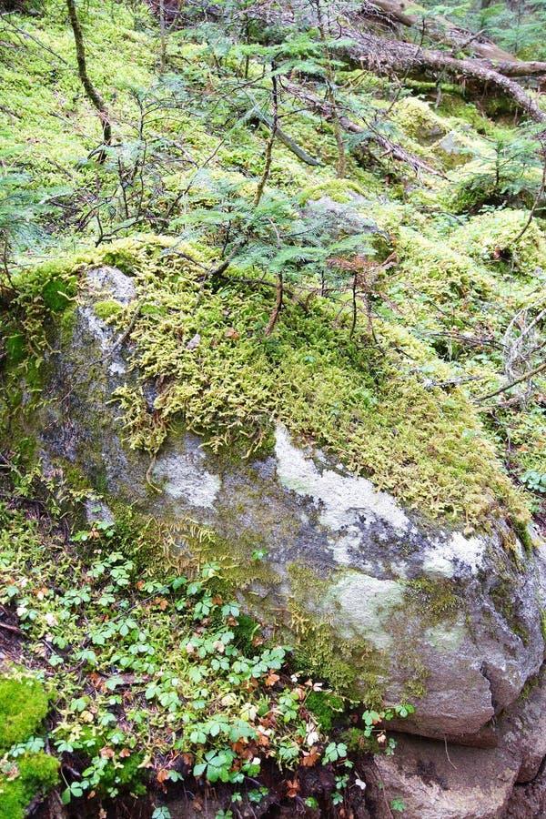 Musgo verde claro en piso del bosque foto de archivo libre de regalías