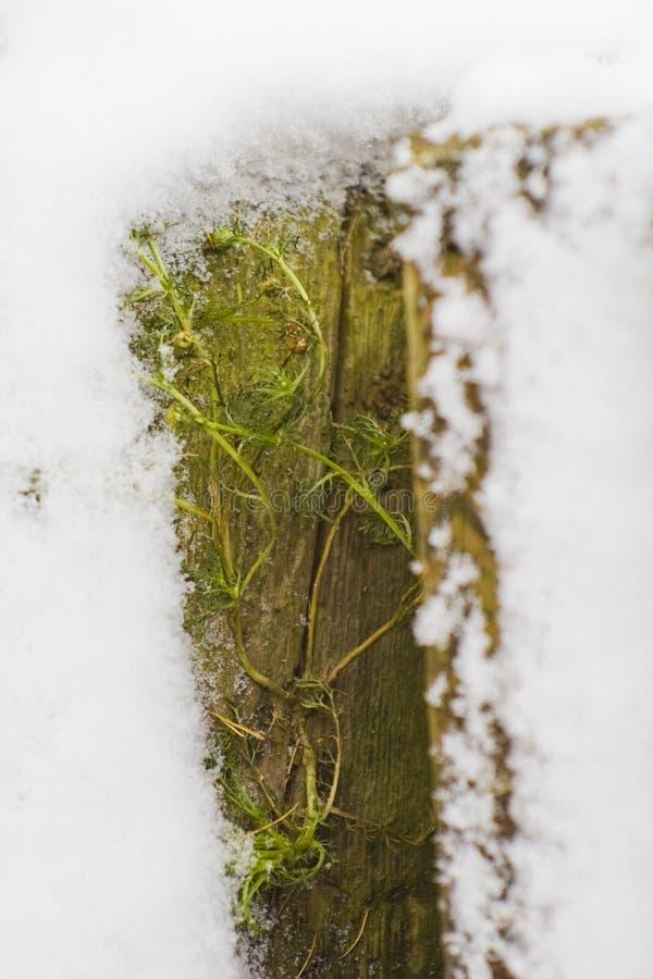 Musgo verde coberto com a neve fotografia de stock