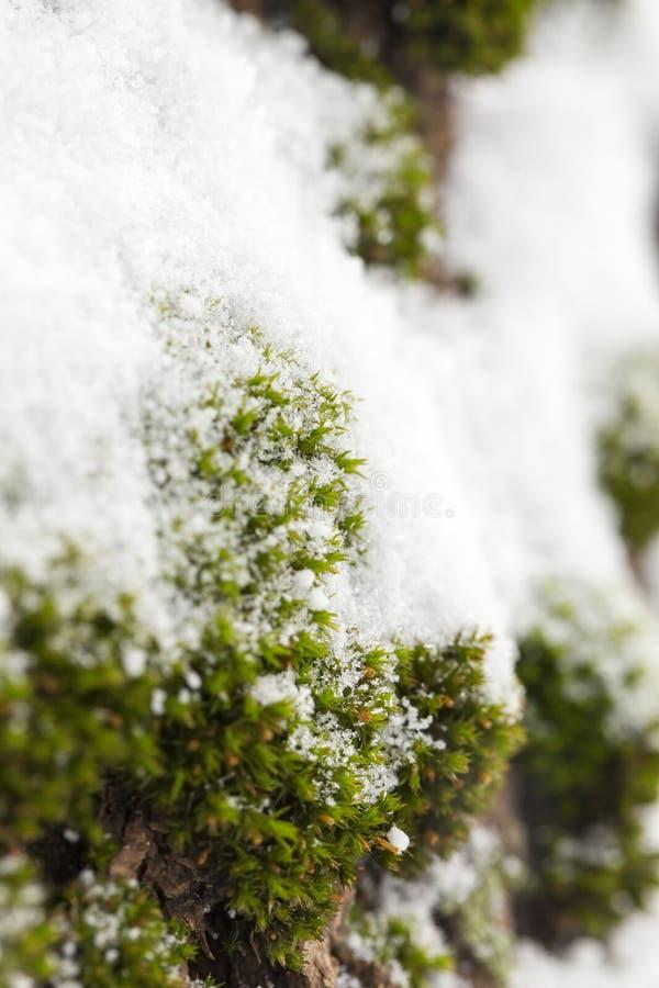 Musgo verde cubierto con nieve foto de archivo libre de regalías