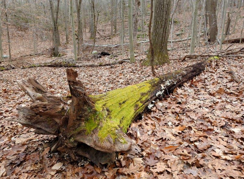 Musgo verde em uma árvore inoperante imagem de stock