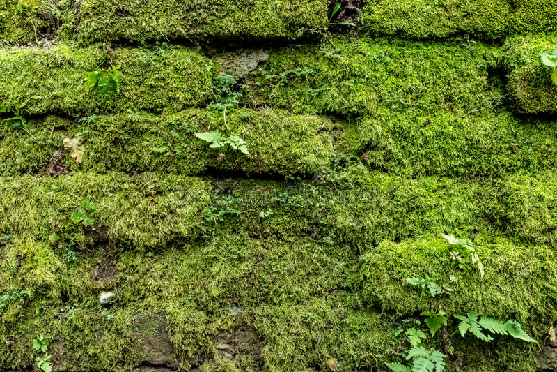 Musgo verde en la pared de ladrillo vieja imágenes de archivo libres de regalías