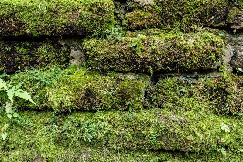 Musgo verde en la pared de ladrillo vieja foto de archivo