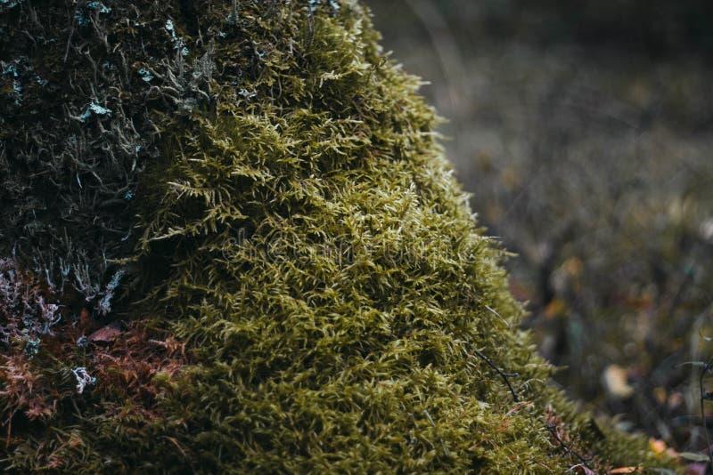 musgo verde en un ?rbol en el primer del bosque Superficie cubierta con el musgo Musgo macro Musgo en el bosque foto de archivo libre de regalías