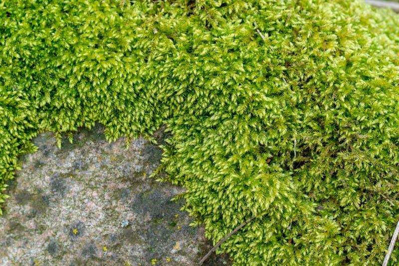 Musgo verde en una roca o una piedra foto de archivo libre de regalías