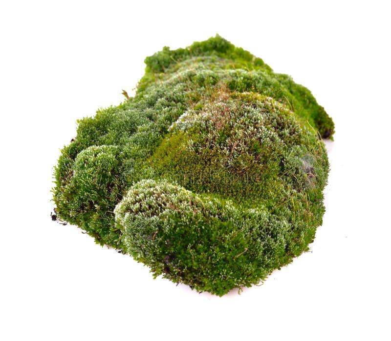 Musgo verde fresco no fundo branco fotos de stock