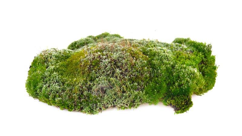 Musgo verde fresco no fundo branco imagens de stock