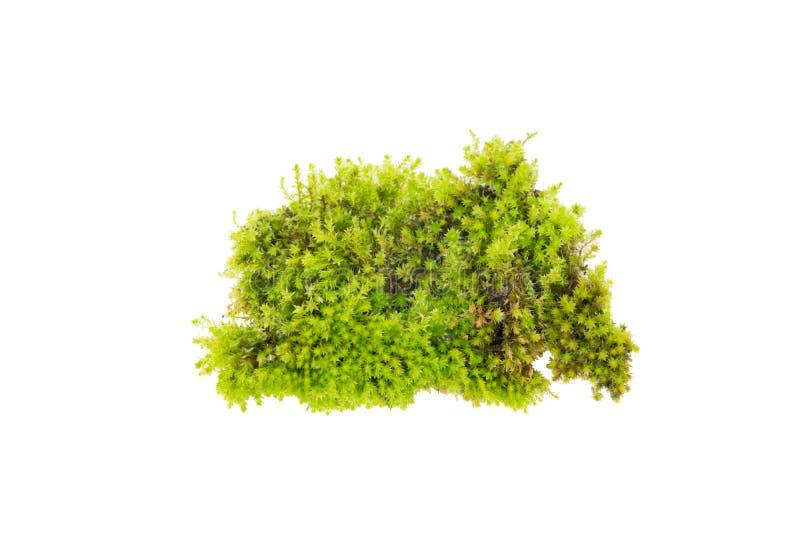 Musgo verde, musgo verde claro fotos de archivo
