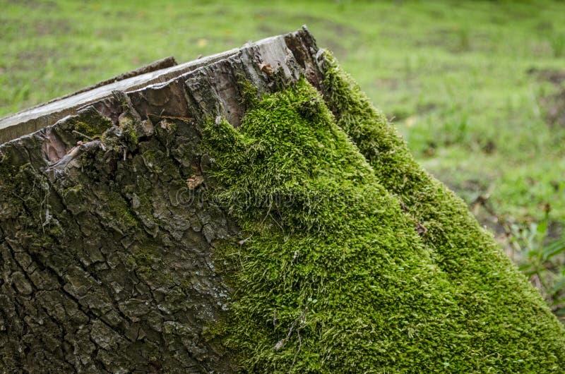 Musgo verde na árvore do coto no coto profundo da floresta com musgo na floresta fotografia de stock royalty free