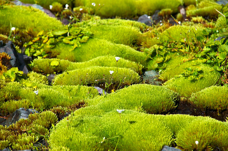 Musgo verde rico e flores brancas pequenas. fotografia de stock