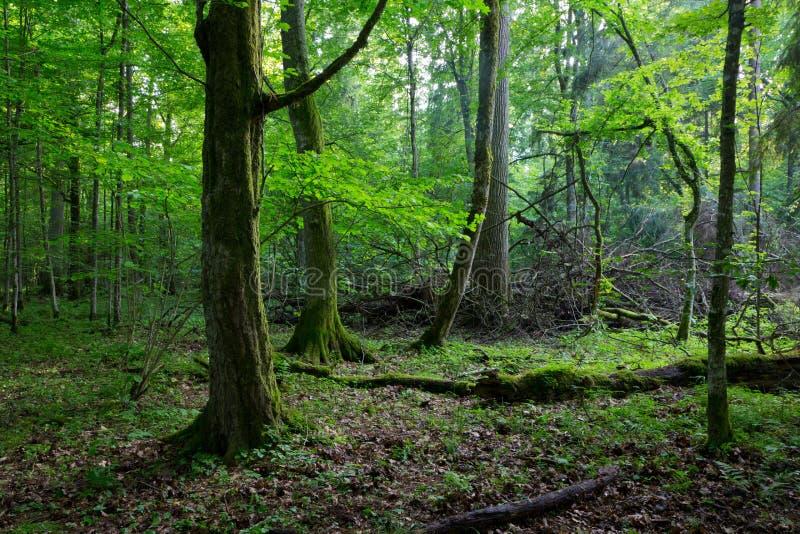 Musgo viejo del carpe envuelto en bosque de la primavera fotografía de archivo libre de regalías