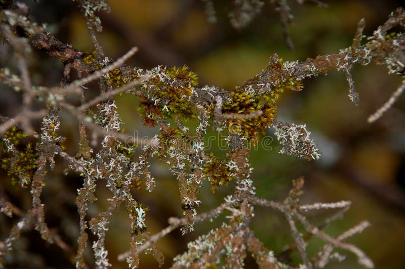 Musgos y liquenes en la rama de la cereza foto de archivo libre de regalías