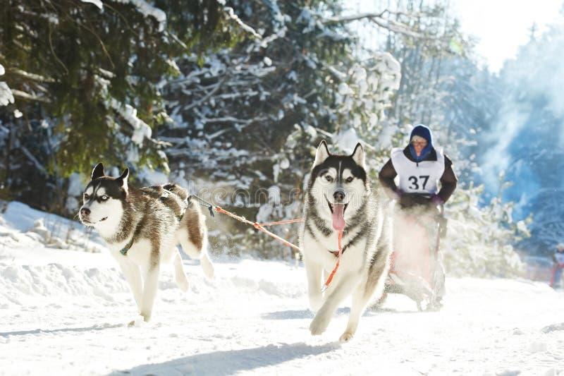 Musher da competência de cão do trenó do inverno e cão de puxar trenós Siberian fotografia de stock royalty free