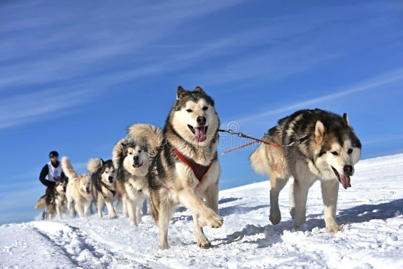 Musher, das hinter Pferdeschlitten am Schlittenhunderennen auf Schnee im Winter sich versteckt stockfotografie