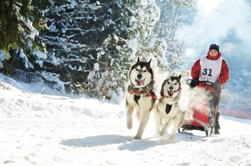 Musher del ? el competir con de perro de trineo del invierno y perro esquimal siberiano fotografía de archivo