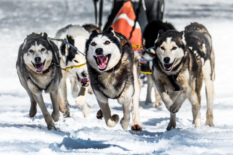 Musher dogteam driver and Siberian husky at snow winter competition race in forest stock image